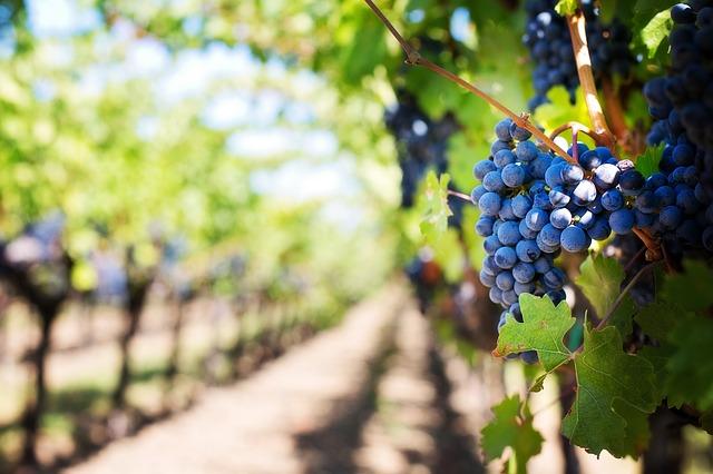 Vignobles Carcassonne - Limoux